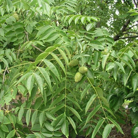 Орехи для средней полосы: виды и условия выращивания