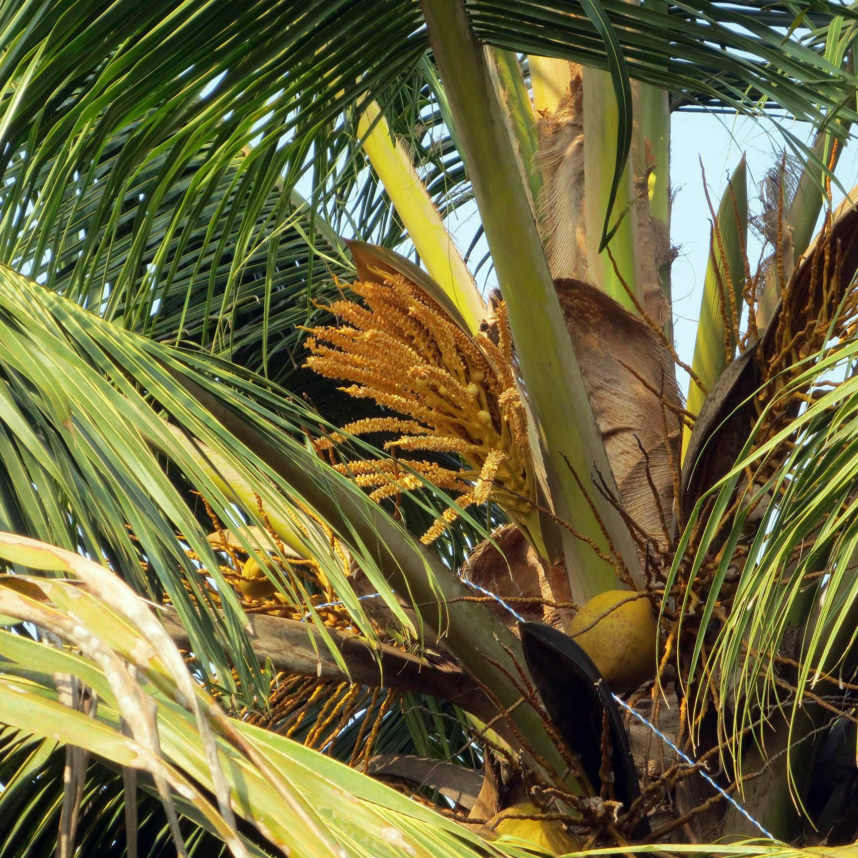 Что растет на пальмах: не бананы, не ананасы и не манго
