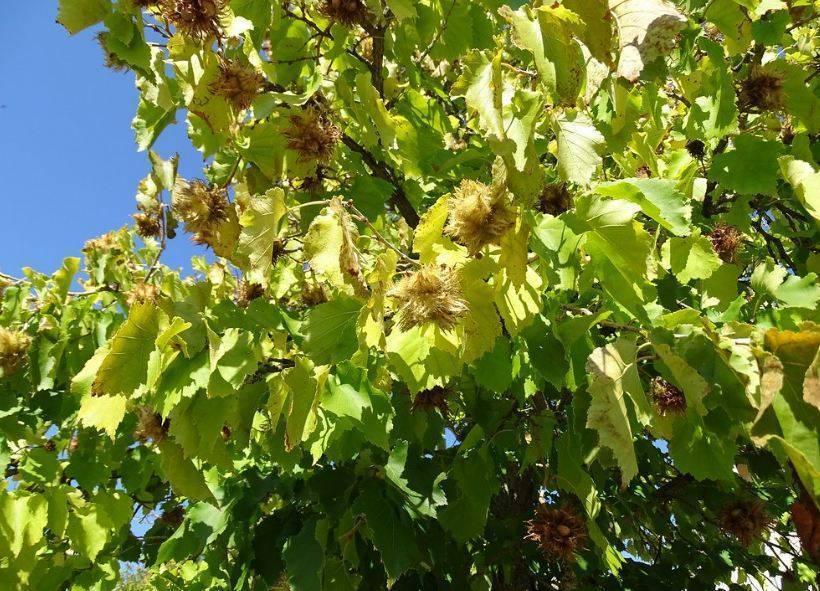 Лещина древовидная (орех медвежий): описание, фото - растения и огород