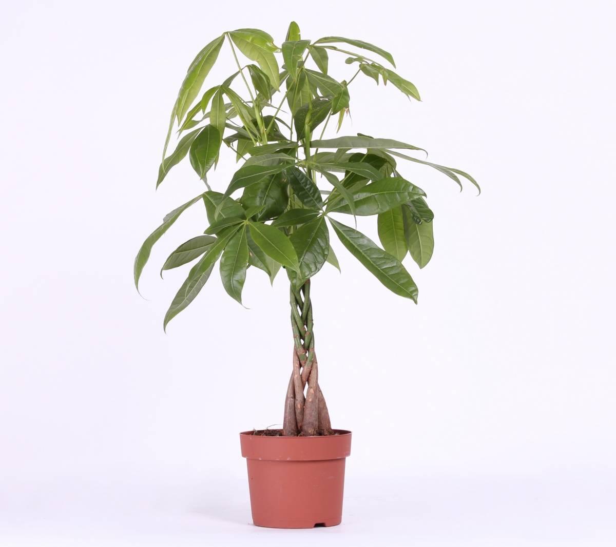 Комнатное растение пахира: фото, уход и размножение в домашних условиях