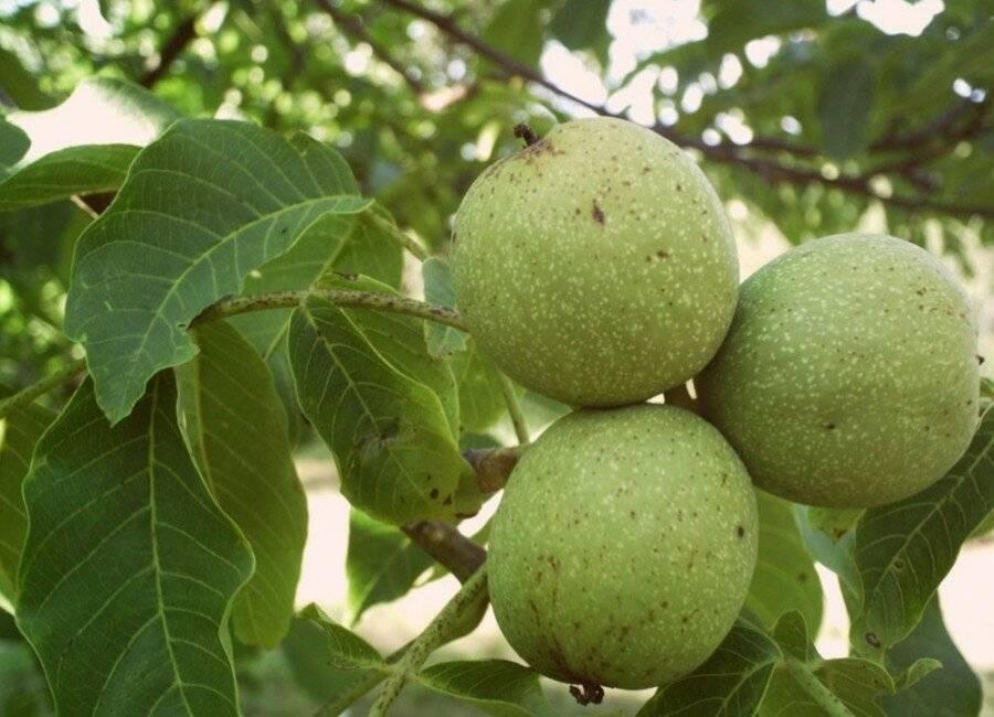 Плодовое дерево грецкий орех: описание сортов, уход и условия выращивания, обрезка и формирование кроны