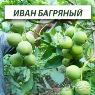 Разновидность грецких орехов. лучшие сорта, описание и фото.