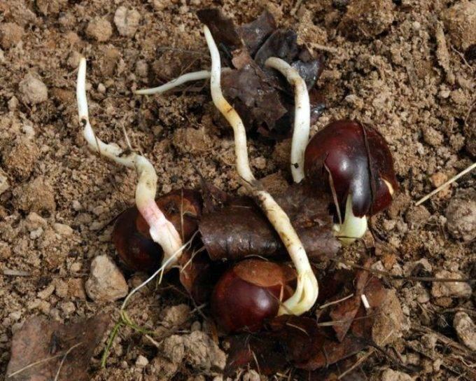 Как посадить каштан из ореха осенью. в открытый грунт | дачная жизнь
