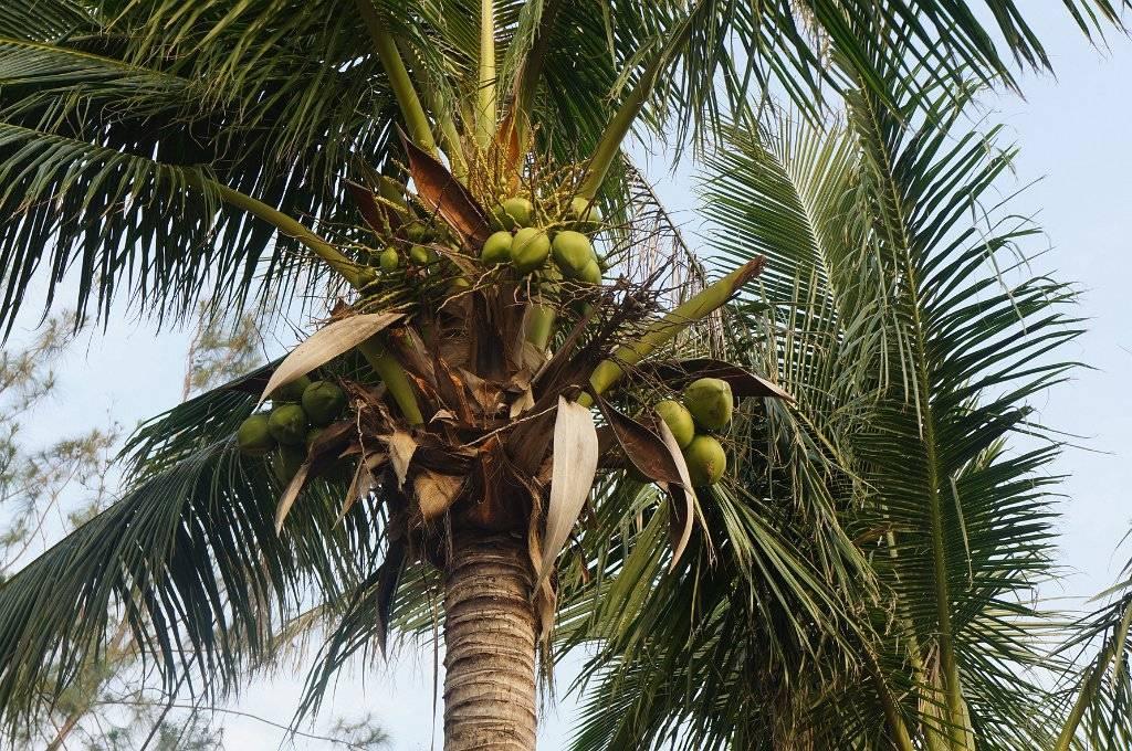 Как и где растут бананы в природе, в какой стране, как размножаются?
