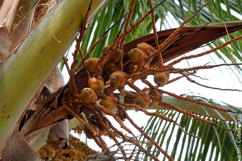 Что такое кокос, это фрукт или орех, где растёт, в чем польза? интересные факты, правила выращивания и применения