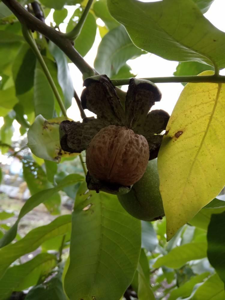 Посадка и выращивание грецкого ореха – советы садовода   сайт о саде, даче и комнатных растениях.