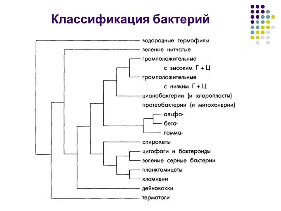 Глава 3. основы классификации и морфология микроорганизмов - о. б. орлеанская [1986 черкес ф.к., богоявленская л.б., бельская н.а. - микробиология]