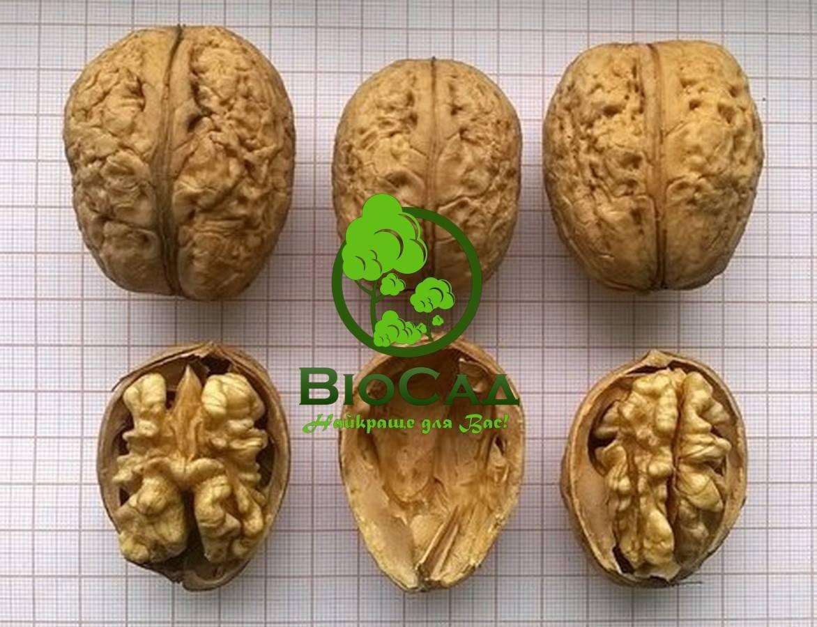 Урожайные сорта грецкого ореха для подмосковья и краснодарского края