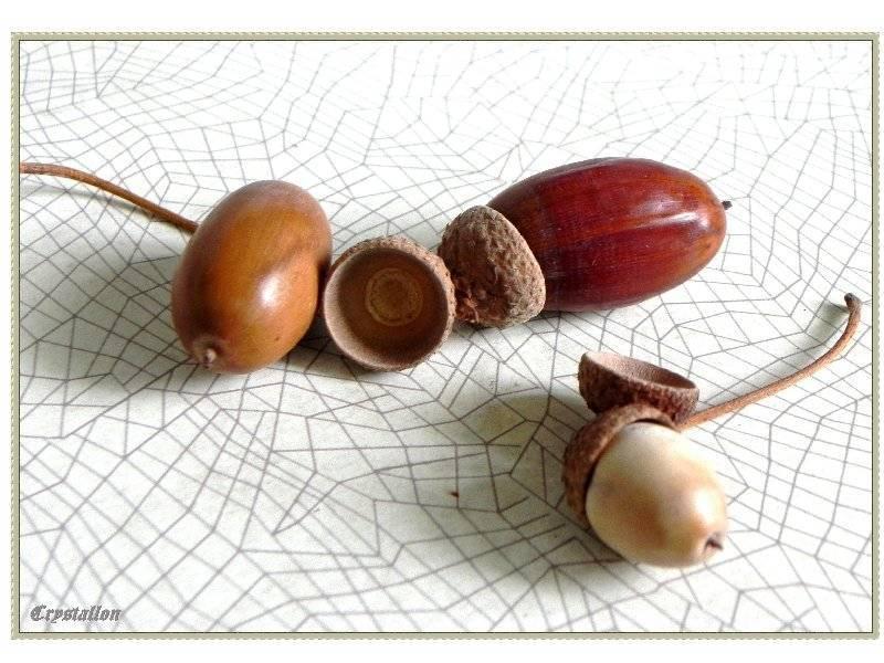 Листья дуба: полезные свойства и противопоказания, применение в народной медицине, вред для человека
