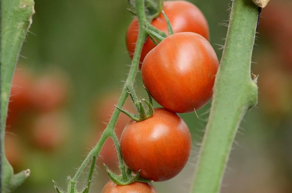 Счастье в теплице: как на кубани выращивают помидоры