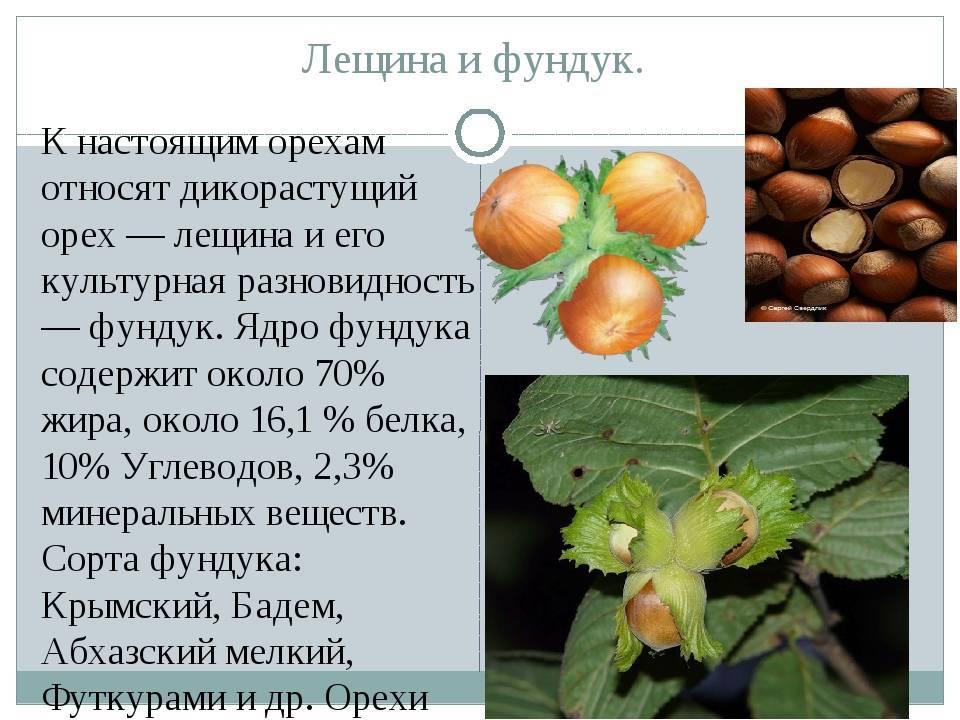 Особенности посадки и ухода за лещиной в сибири и правила выращивания фундука