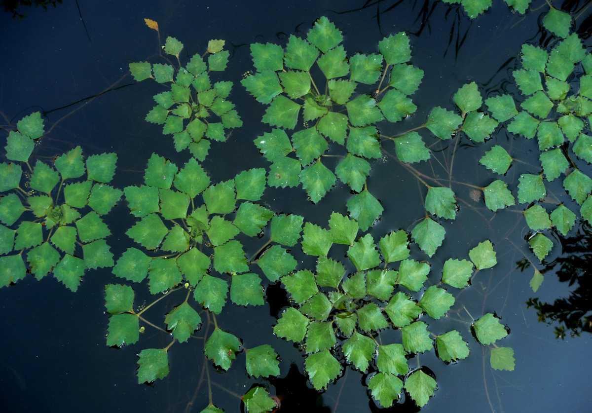Польза, лечебные свойства и противопоказания к употреблению водяного ореха