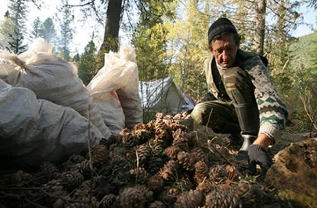 Когда собирают кедровые шишки: в каком месяце и как правильно для разных регионов