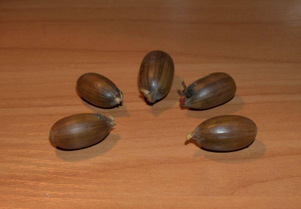 Как вырастить дуб из желудя в горшке в домашних условиях?