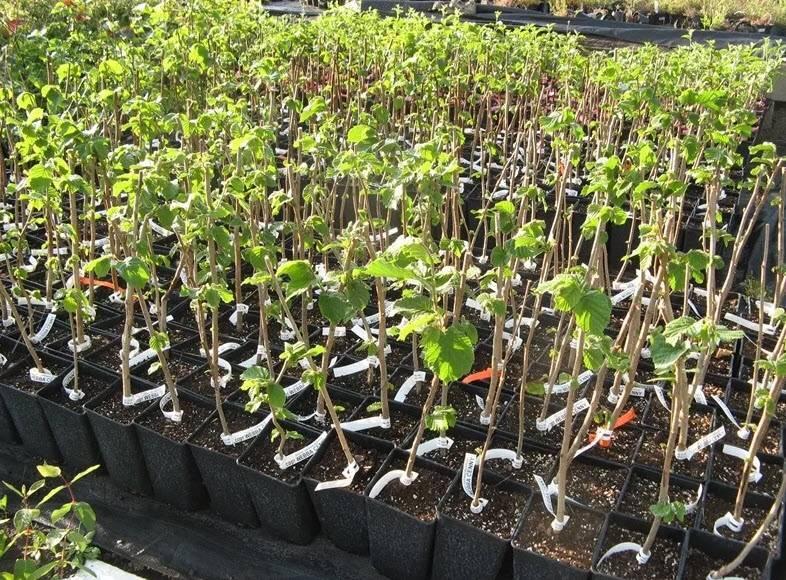 Фундук: выращивание и уход в открытом грунте