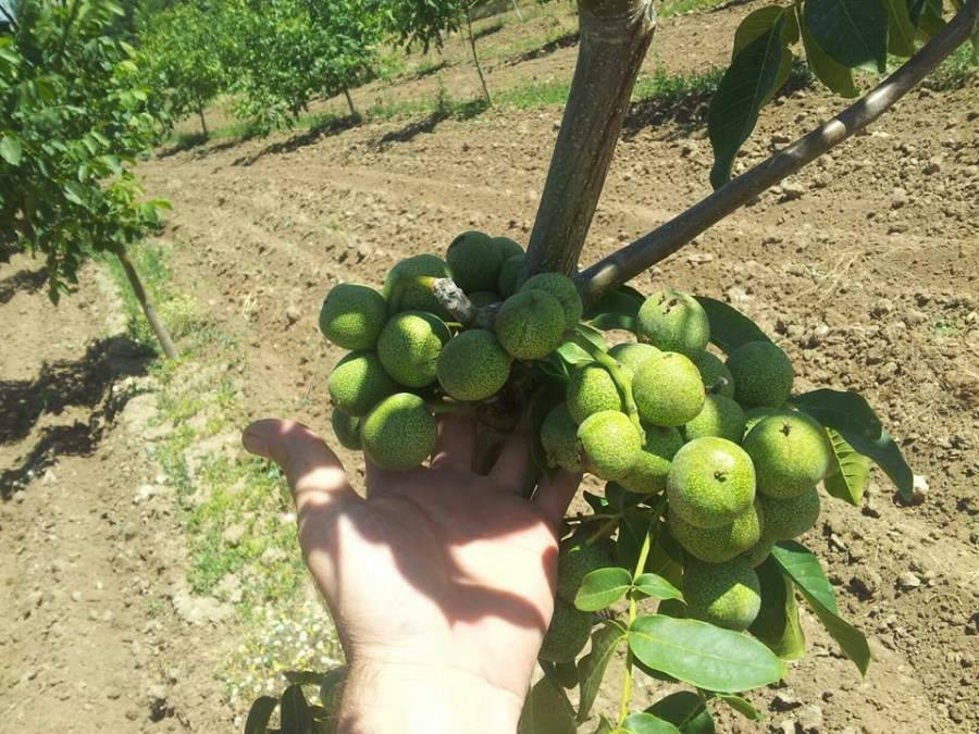 Выращивание грецкого ореха: сорта, посадка, уход, болезни