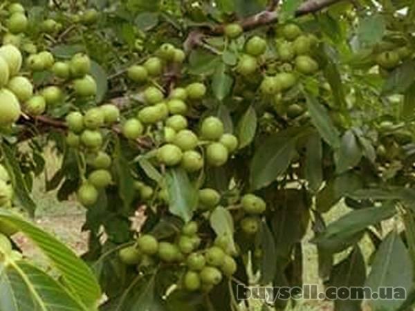 Сорта грецкого ореха: виды, описание, правила выбора