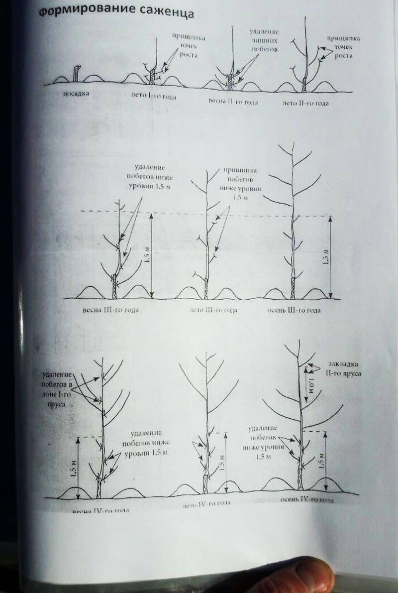 Как обрезать грецкий орех осенью правильно, когда это делать, инструкция по проведению обрезки поэтапно по разным схемам