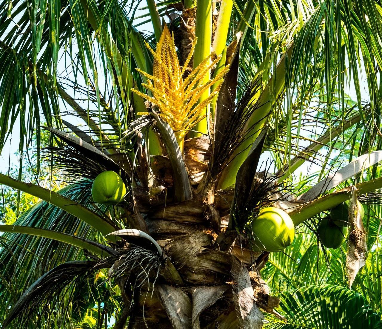 Кокосовая пальма: советы по уходу в домашних условиях для начинающих