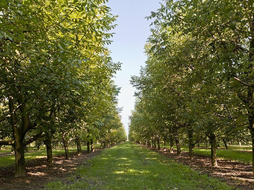 Математика грецкого ореха: как самому составить бизнес-план орехового сада