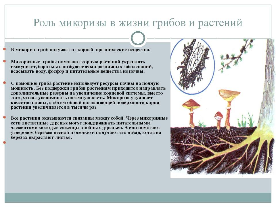 Микориза растений