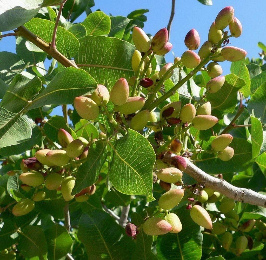 Сколько растет фисташковое дерево. как растут фисташки: особенности выращивания