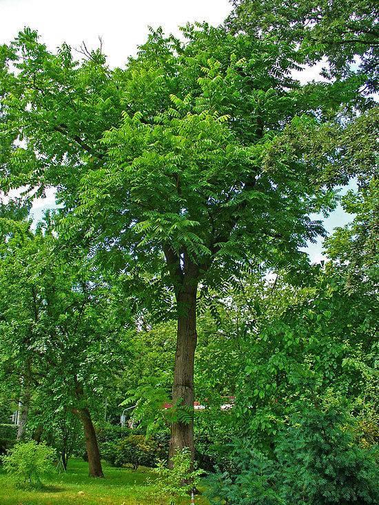 Орех серый - вики