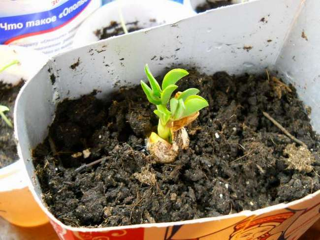 Где растет арахис: посадка на огороде и в домашних условиях, особенности ухода за земляным орехом