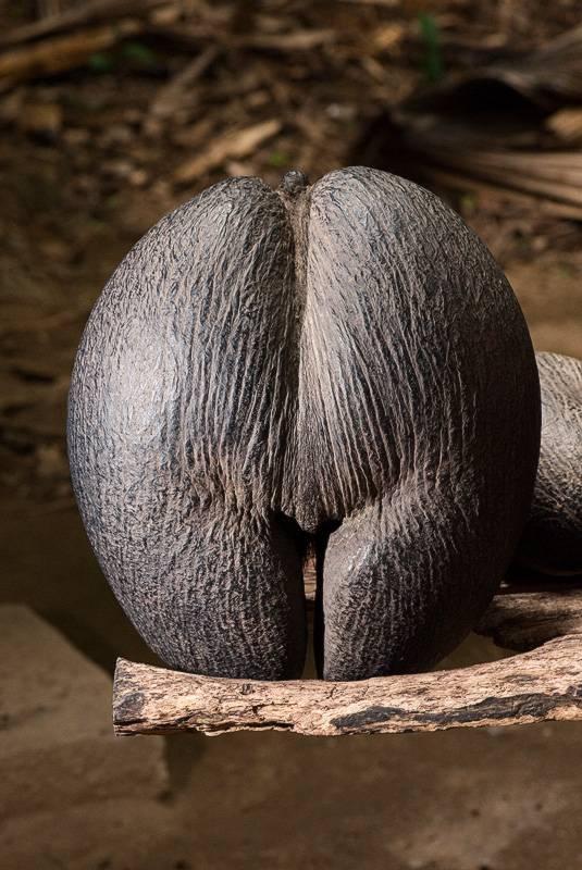 Сколько видов кокосов существует? советы, как выбрать