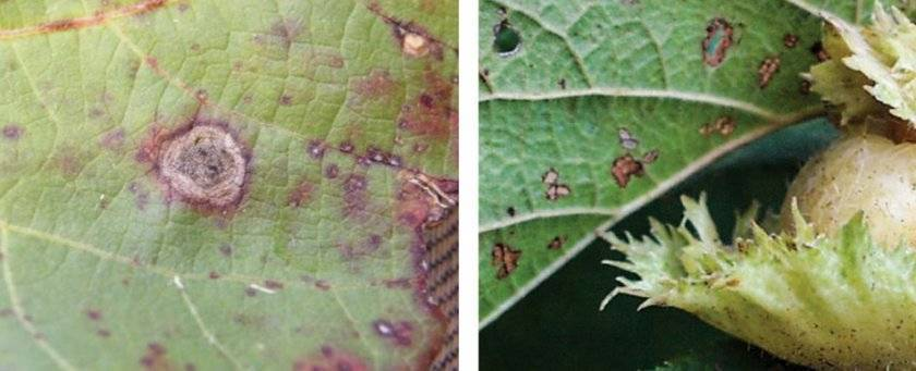 Болезни и вредители фундука: как защитить и чем обработать - садоводство