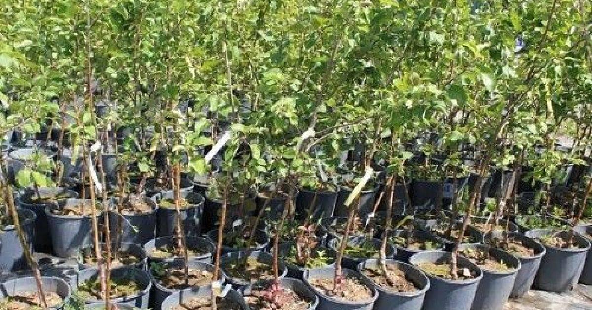 Саженцы яблонь: как выбрать и вырастить самостоятельно