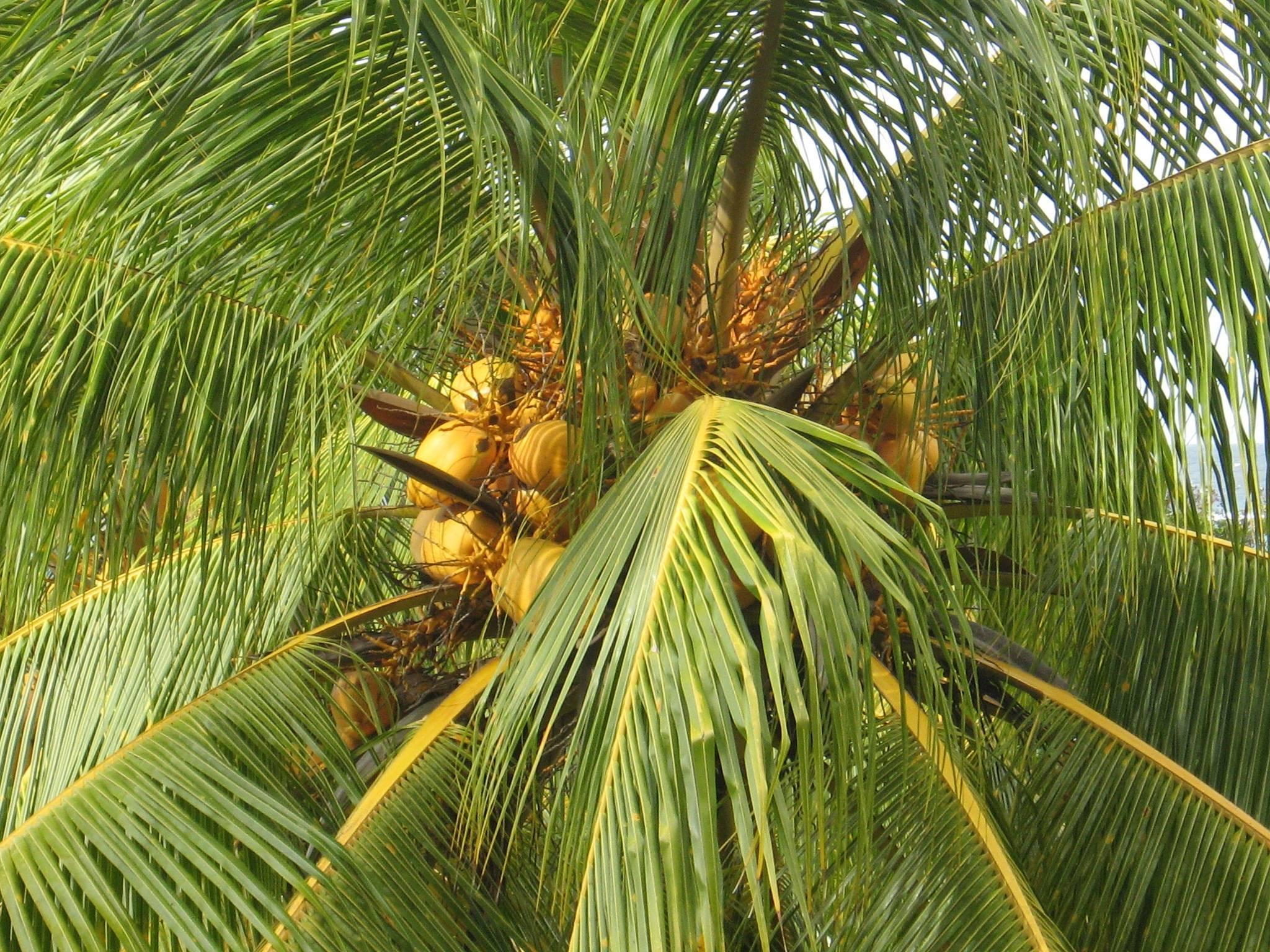 Что растет на пальме? семейство пальмовые. кокосовая пальма. финиковая пальма. королевская пальма :: syl.ru