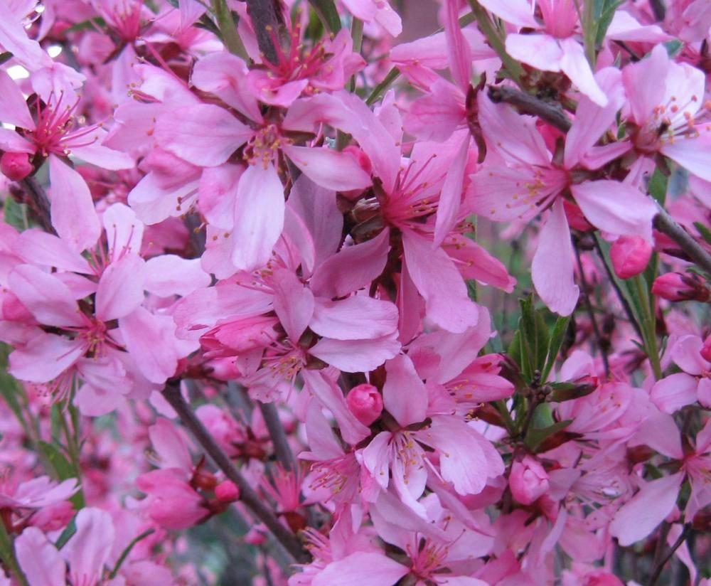 Растение миндаль низкий (бобовник): фото и описание, посадка, уход, размножение и обрезка бобовника