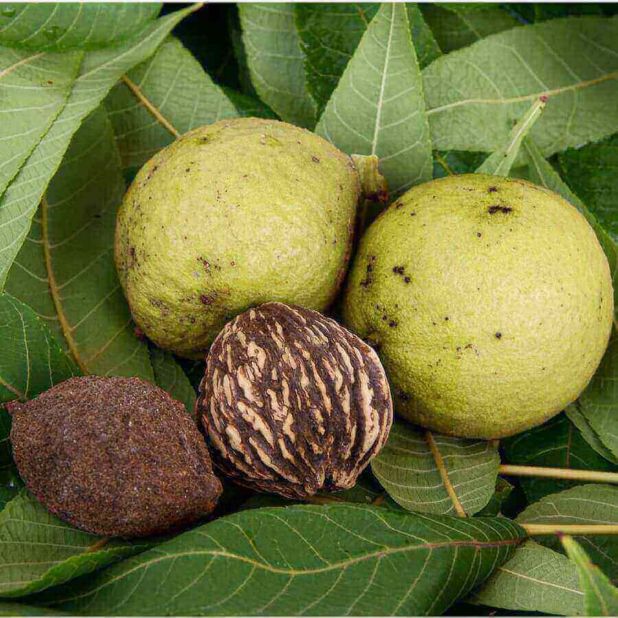 Черный орех: полезные свойства и применение | все о паразитах