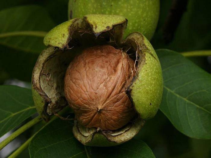 Так почему не плодоносит грецкий орех