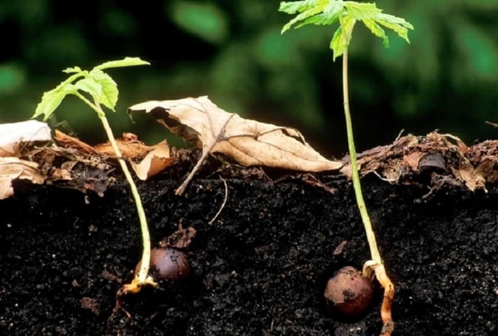 Как посадить каштан: из ореха, в горшок, семенами, саженцами