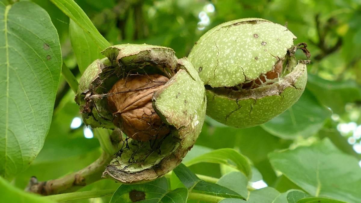 Полезные свойства и противопоказания незрелых зеленых грецких орехов. заготовка, применение и рецепты