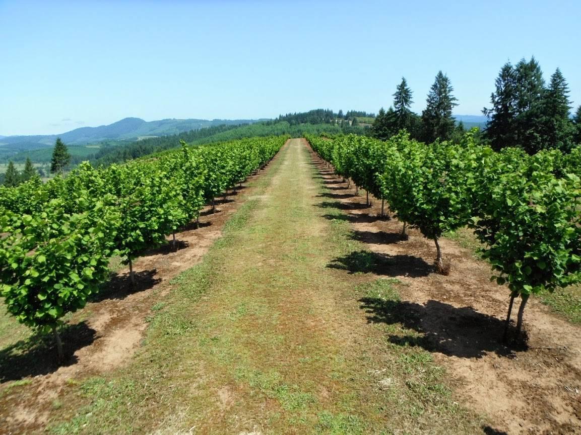 Особенности выращивания фундука в Грузии