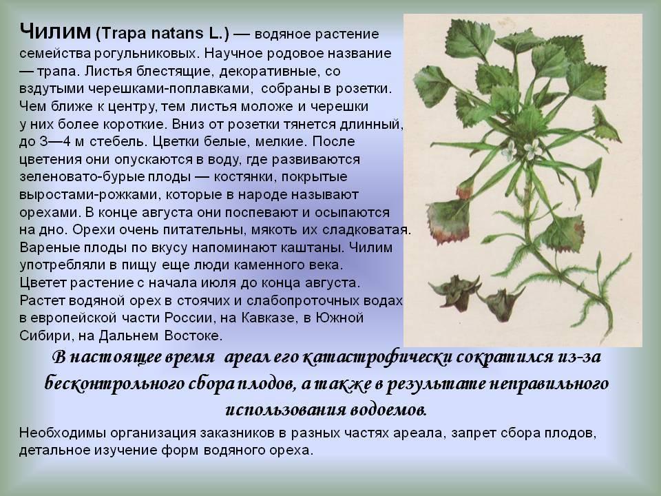 Как выглядит и где растет грецкий орех в россии и в мире