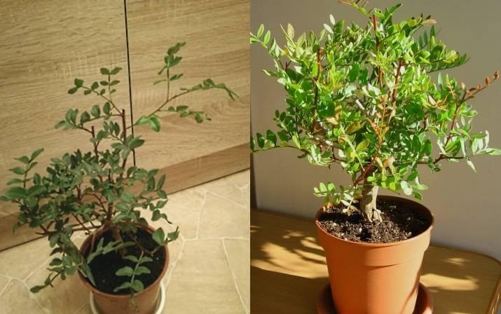Как вырастить фисташковое дерево в домашних условиях из ореха