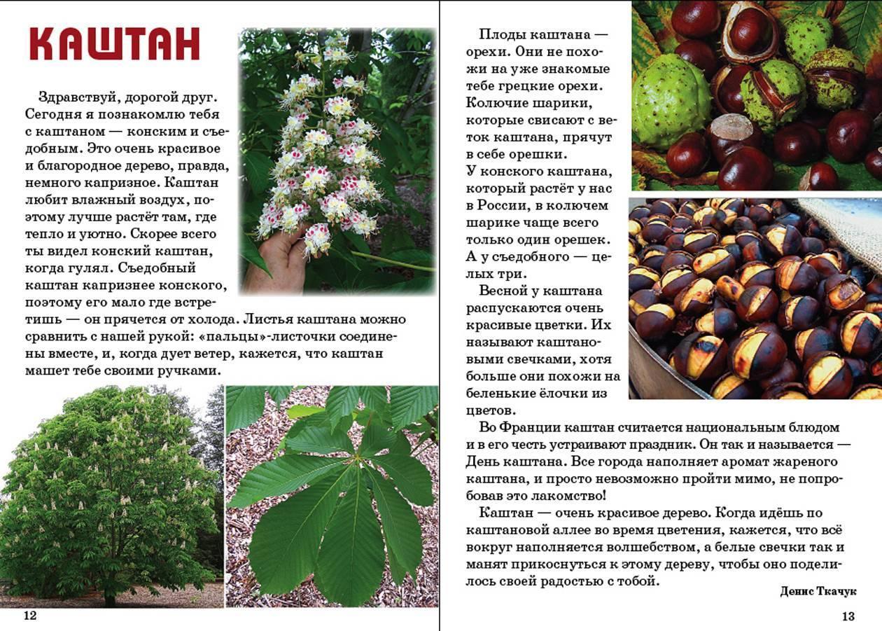 Каштан: описание ореха, состав, применение, факты