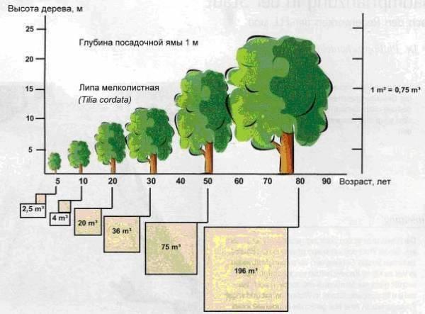 Продолжительность жизни деревьев: таблица и описание
