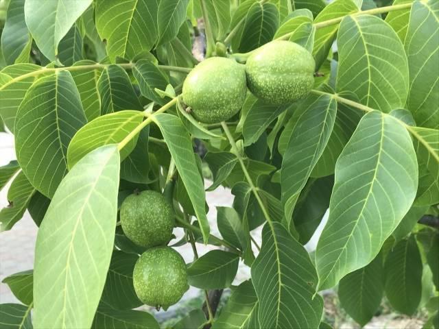 Как посадить (сажать) и вырастить грецкий орех семенамиь в домашних условиях