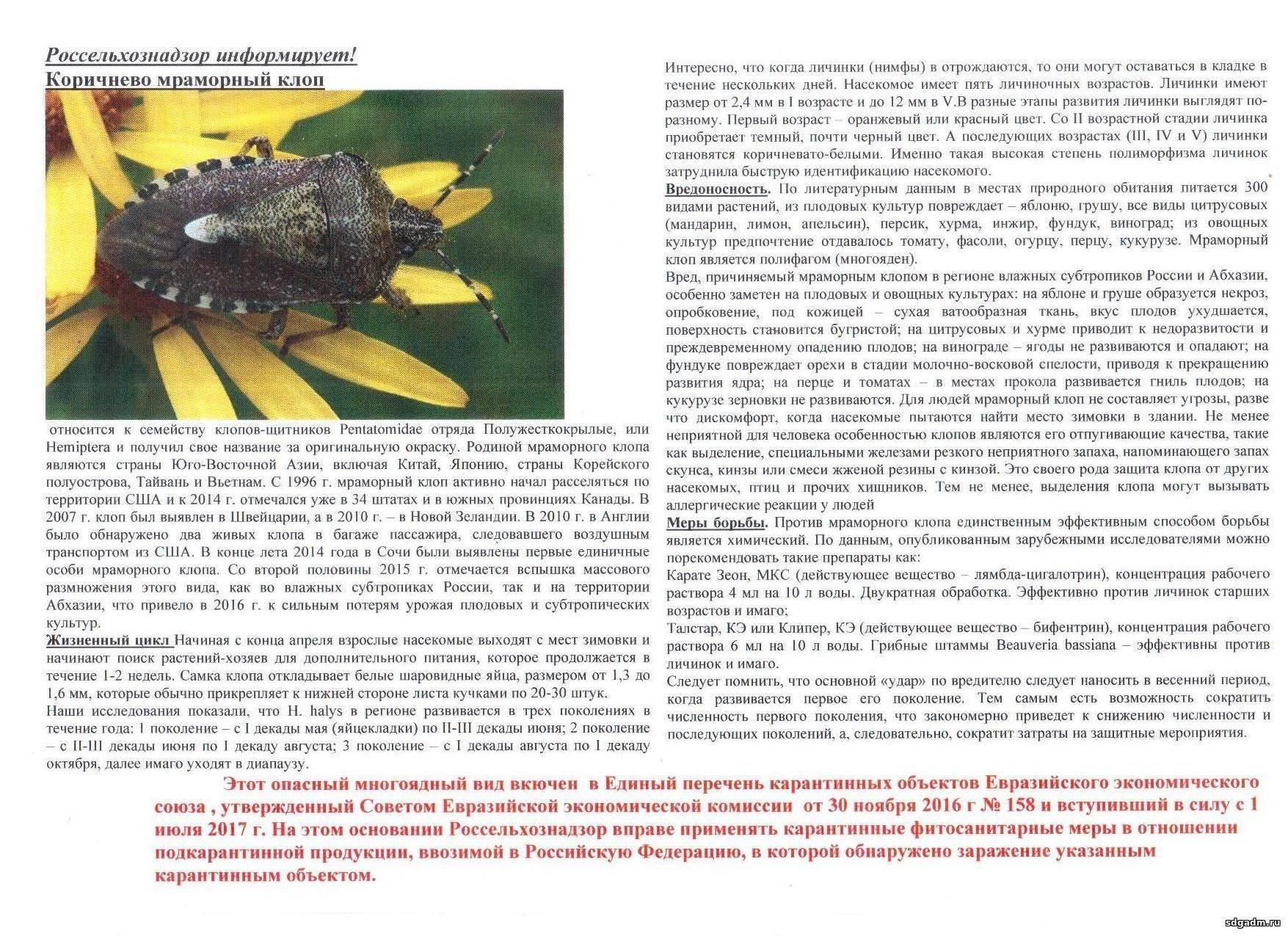 Мраморный клоп – чем питается, как размножается и кто его ест