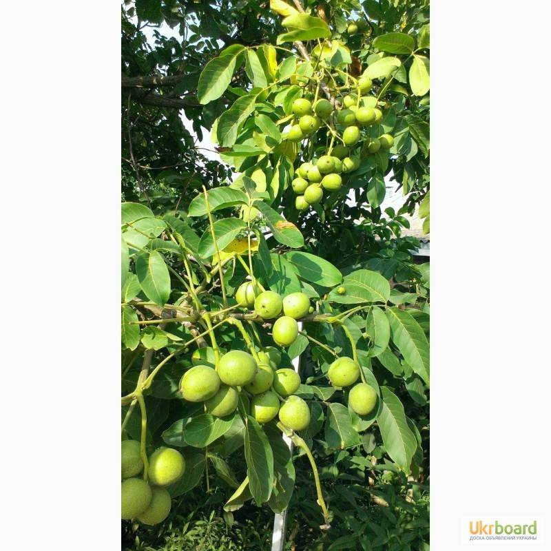 Размножение грецкого ореха и обзор некоторых интересных сортов | сайт о саде, даче и комнатных растениях.
