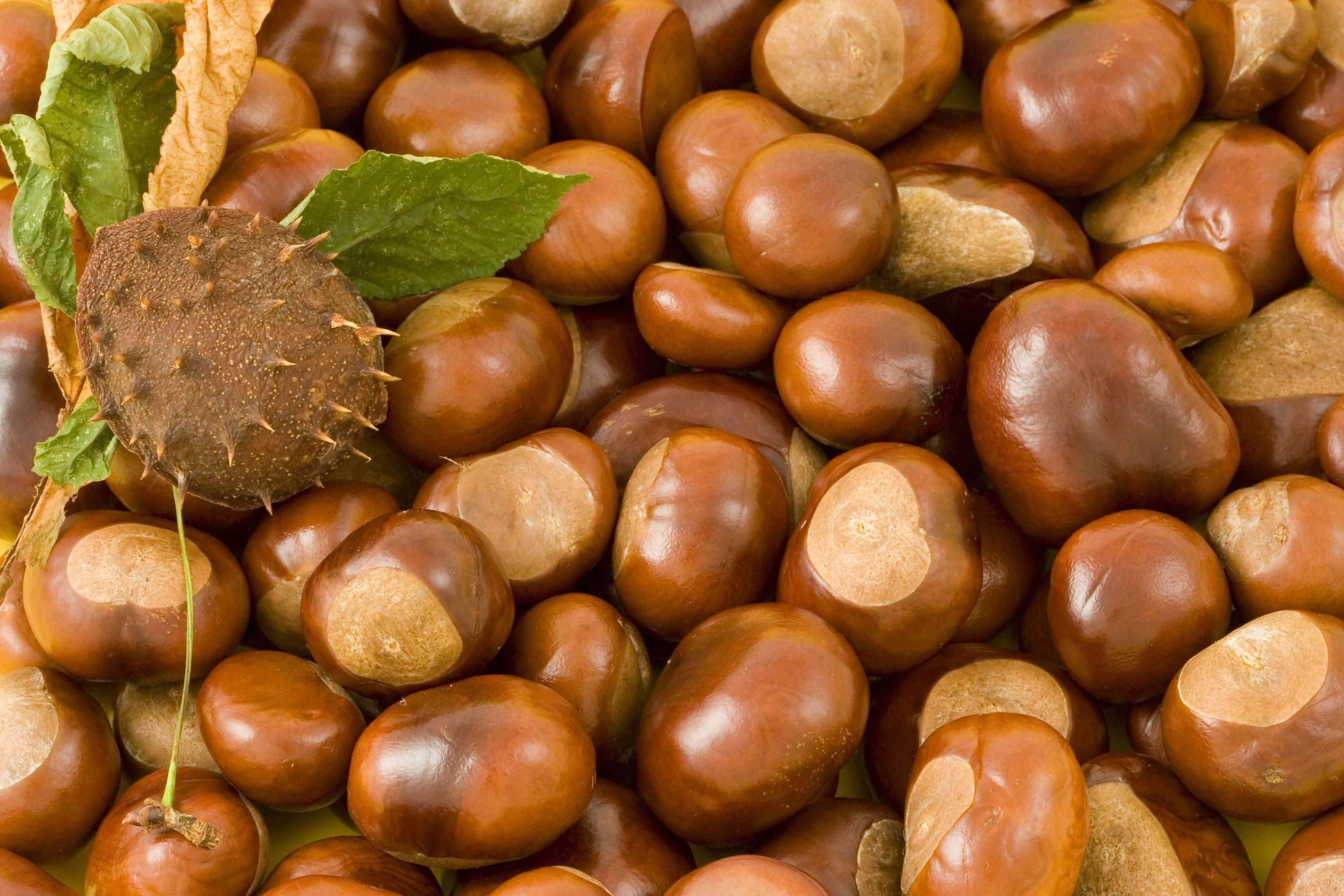 Орех каштана и его лечебные свойства
