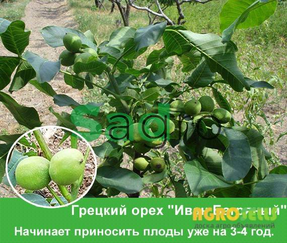 Walnuts broker: орех иван багряный, 0985674877, 0957351986