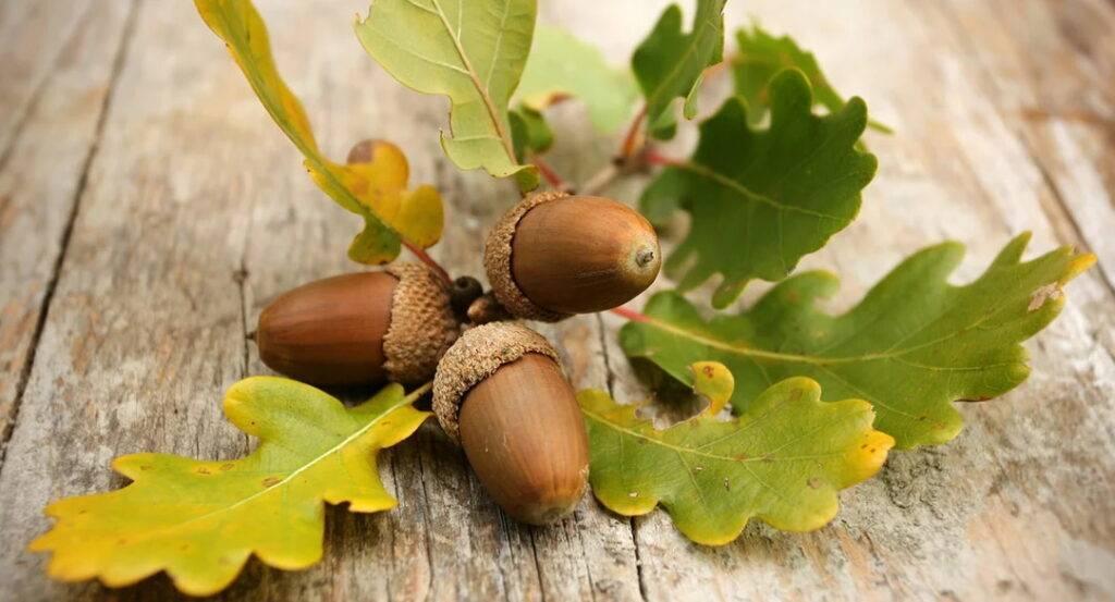 Выращивание дуба из желудя в домашних условиях