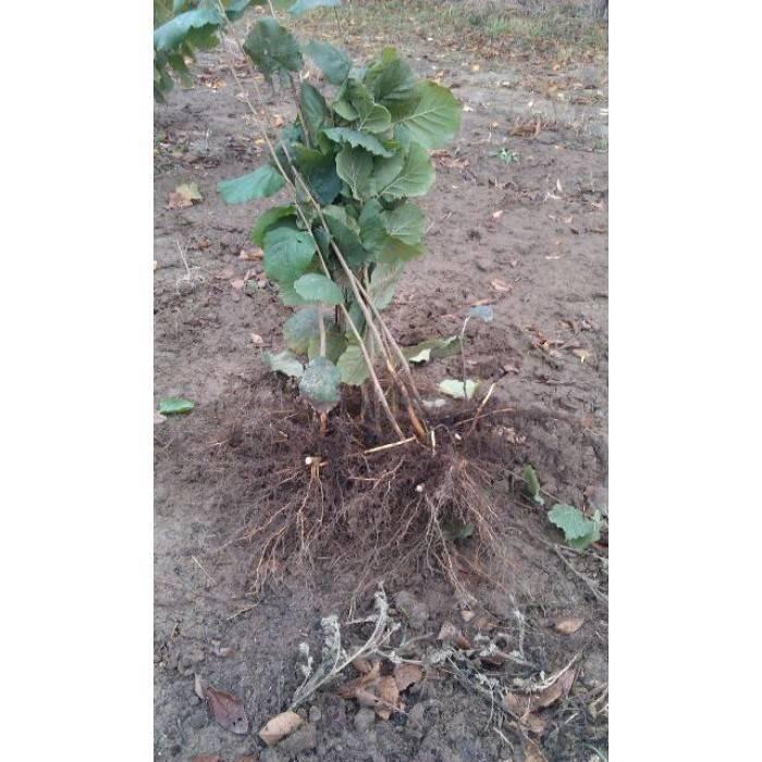 Выращивание фундука в домашних условиях. фундук технология посадки