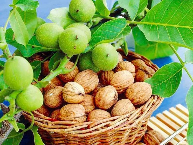 Особенности, условия и агротехника выращивания грецкого ореха. как вырастить, чтобы был крупным?